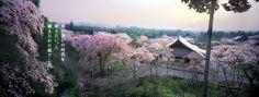 travel poster/そうだ 京都、行こう。/「長い争いの時代を変えたい、と植えられた桜でした。」/spring 2002