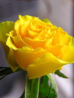 Rosa amarilla de Tejas.