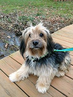 Pictures of RILEY a Yorkie, Yorkshire Terrier for adoption in Wooster, OH who needs a loving home.