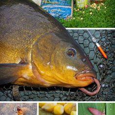 Köder- und Futtertipps zum Angeln auf Schleie Best Carp Bait, Fish, Carp Fishing Rigs, Carp Fishing, Fish Feed, Earthworms, Pisces