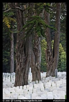 Gravestones and trees, San Francisco National Cemetery, Presidio. San Francisco, California, USA