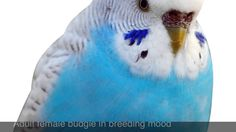 Free images of male love birds Download -   The Difference Between Male Female Budgie Birds Youtube pertaining to Images Of Male Love Birds | 1920 X 1080  Download  Free images of male love birds Download wallpaper from the above display resolutions for HD Widescreen 4K UHD 5K 8K Ultra HD desktop monitors Android Apple iPhone mobiles tablets. If you dont find the exact resolution you are looking for go for Original or higher resolution which may fits perfect to your desktop.   Story Of The…