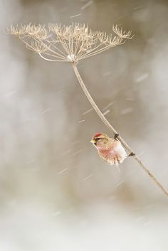 "Somehow reminds me of the song: ""Against The Wind."" We often hear their happy chirps, but don't see half the bad weather little birds face. Meet the Lesser Redpoll (Male on Hogweed) Pretty Birds, Love Birds, Beautiful Birds, Animals Beautiful, Cute Animals, All Nature, House Nature, Tier Fotos, Little Birds"