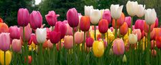 "A photograph of the the spring flowering Tulip Bulbs cultivar ""French Blend"""