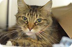 Philadelphia, PA - Domestic Shorthair. Meet MESCO, a cat for adoption. http://www.adoptapet.com/pet/13997979-philadelphia-pennsylvania-cat