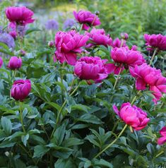 Garden Landscaping 5 Tips for Growing Peonies - Longfield Gardens - Peonies are one of America's best-loved perennials. If you're thinking about growing peonies, here are some tips to help ensure your success. Peonies And Hydrangeas, Peonies Garden, Peonies Bouquet, Hydrangea Bouquet, White Peonies, Growing Peonies, Growing Flowers, Planting Flowers, Flower Gardening