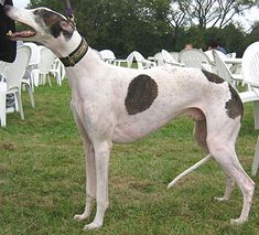 Greyhounds are one oldest breeds of dog. The earliest evidence of the Greyhound are on tomb carvings in Egypt that date back to 2900 B.C. They are also the fastest canine in the world.