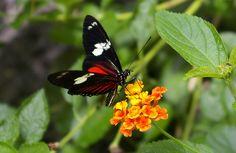 HeliconiusDorisLinnaeus - Costa Rica - Wikipedia, the free encyclopedia