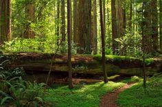 Coastal Redwood Forest 5
