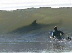 Great white shark and surfer.  OMG!!!!!!!!!!! I would surely have a heart attack!!