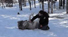 Un lupo gigante per amico/video