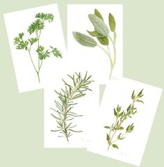 This is a set of 4 PRINTS of my colored pencil drawings of sprigs of Fresh Parsley, Sage, Rosemary and Thyme. {{ Buying a set will save you some