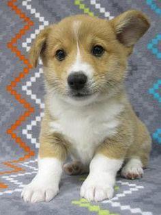 Pembroke Welsh Corgi Puppy<3<3