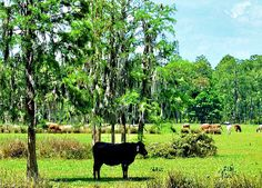 This is a small herd of cattle seen while biking the General Van Fleet trail in Polk county Florida.