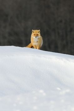Lone Fox