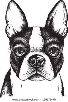 Black and white vector sketch of a fawn Boston Terrier's face - comprar este(a) imagem vetorial de banco no Shutterstock e encontrar outras imagens. Boston Terrier Love, Boston Terriers, Boston Terrier Kunst, Boston Terrier Tattoo, Terrier Puppies, Animal Drawings, Art Drawings, Boston Art, Dog Illustration
