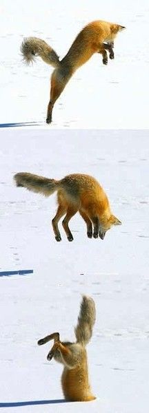 the red fox pounces