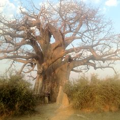 Baobab tree Baobab Tree, Gods Creation, Nature Scenes, Red Flowers, Mother Nature, South Africa, Natural Beauty, Landscapes, Southern