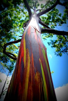 Rainbow Eucalyptus, hese are rainbow eucalyptus trees (Eucalyptus deglupta) and they hail from the Philippine Islands. The trees get their name from the striking colours observed on their trunks and limbs. Although it may look like someone took a paintbrush to them, these colours are entirely natural.