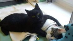 Radamenes, an angelic little black cat in Bydgoszcz, Poland - Incredible Nurse Cat from Poland Looks after Other Animals at Animal Shelter - Nster News I Love Cats, Crazy Cats, Cute Cats, Nurse Cat, Baby Animals, Cute Animals, Sick Cat, I'm Sick, Image Chat