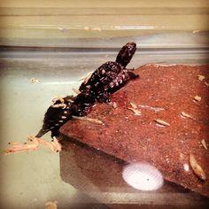Snapping turtles - @mcspca- #webstagram