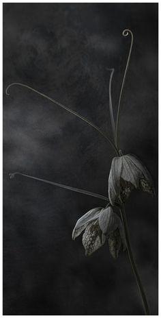 "Flowers in Neutral Moment-2015 "" Fritillaria Verticillata"" Archival pigment print Printed on cotton rag fine art paper Photo by Soichi Oshika"