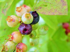 Ripening huckleberries on the bush...