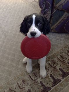 Will somebody play frisbee with me? Lexie black and white English Springer Spaniel puppy at 13 weeks.