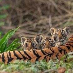 Three very cute tiger cubs peeking over mom's long back. Three very cute tiger cubs peeking over mom's long back. Cute Tiger Cubs, Cute Tigers, Big Cats, Cool Cats, Cats And Kittens, Beautiful Cats, Animals Beautiful, Cute Baby Animals, Animals And Pets