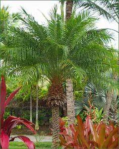 super-oxygenating plants that are safe for kitties! dwarf (pygmy) date palm, reed palm, areca palm (Chrysalidocarpus), bamboo (Pogonatherum), boston fern (Nephrolepsis), gerber daisy, phalaenopsis orchid, leopard orchid, peacock plant (caeroba), spider plant.