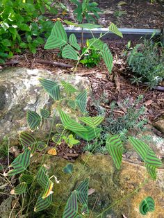 Beautifully unusual plant in the butterfly garden, with leaves shaped almost like butterflies...