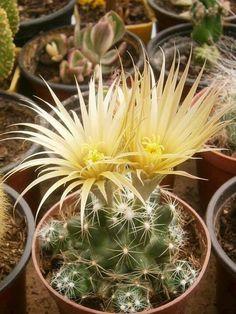 Escobaria missouriensis