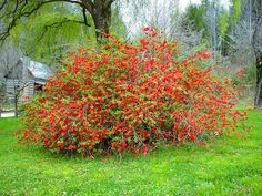 Every school day I drive by a flowering quince...  It's going crazy right now, and someday I hope to have one of my own.