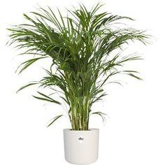 Slechte nachtrust? Deze 5 planten zorgen ervoor dat je beter slaapt - Alles om van je huis je Thuis te maken | HomeDeco.nl Large Indoor Plants, Plantar, Home Deco, House Plants, Products, Yellow Flowers, Leaves, West Indies, Savages