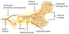 3D Bone Marrow Made from Silk Biomaterials Successfully Generates Platelets   National Institute of Biomedical Imaging and Bioengineering