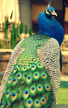 Indian Peafowl (Pavo cristatus) by Tamaswati Ghosh Peacock And Peahen, Peacock Bird, Peacock Tail, Male Peacock, White Peacock, Peacock Images, Peacock Pictures, Beautiful Creatures, Animals Beautiful