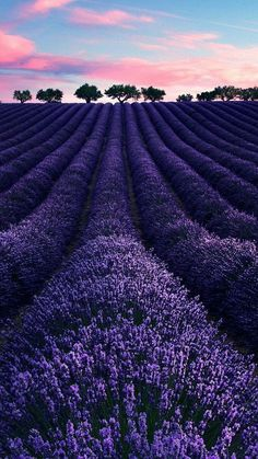 lina's garden — bellasecretgarden: (via Pin by Lina dePinner on... #LavenderFields