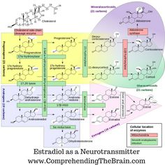 Neurons in the brain signal to each other with the release of a chemical called a neurotransmitter. Until the last few years it was believed that neurotransmitter molecules were all amino acid derivatives or chains of amino acids, peptides or proteins. But, the brain has found a way to make use of estradiol as a neurotransmitter in specific circuits.