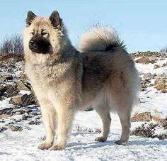 Eurasier #dogs #pets #ShermanFinancialGroup