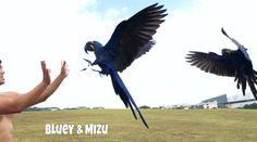 #hyacinthmacaw #parrots #macaws #loro #guacamaya #papagaio #papegøje #papegaai #papagei #pappagalli #papuga #Попугаи #papağan #鸚鵡  #affinityflight #parrot #macaw #guacamayo #arara #perroquet #papagaj #pappagallo #papegøye #Попугай #papegoja #ببغاء #オウム#앵무새 #طوطی #flyingparrots #freeflyingparrots #greenwingmacaw #blueandgoldmacaw #conure #sunconure