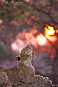 Lioness in the Zambezi