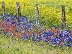Proshots - Texas Bluebonnets, Texas Hill Country, Texas - Professional Photos