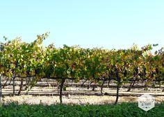Het treintje doorkruist traag maar vastberaden het Zuid-Afrikaanse platteland. De wijnranken waar we langskomen staan in nette rijen opgesteld. We gaan net langzaam genoeg om aan de goudgelige kleur van sommige blaadjes te zien dat het herfst wordt, maar te hard om te zien of de druiven er nog aan zitten. Waarschijnlijk niet, bedenk ik me, het is maart en de rode Merlots van Grande Provence, Delheim en Boschendal 2015 worden al geserveerd bij de boboti.