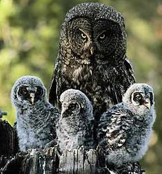 gray owl guarding her owlets