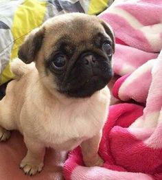 Baby Pug.. he looks just like my baby son... weird but similar eyes to him...i mean.. my baby looks like a dog in the cutest way nicest way...possible