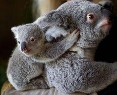 i want to go to australia so i can hold a koala!