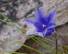 Image result for harebell flower