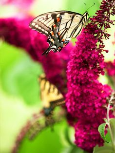 Butterfly Bush (Buddleia)- Attract Butterflies Hummingbirds and beneficial insects.