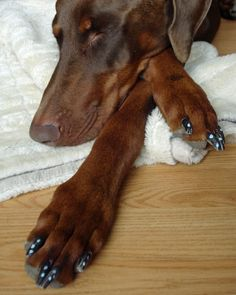 dobermann she has her nails painted