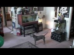 SIN THE SMARTEST PIT BULL 3 - YouTube